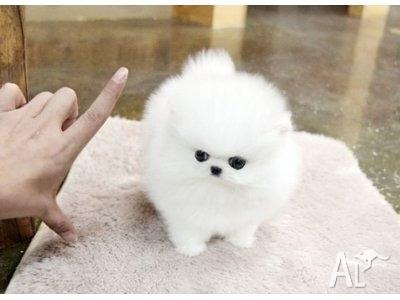POMERNAIAN PUPPY FOR NEW HOME (716) 795-6762