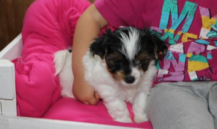 ?Y.o.R.k.i.e P.upp.i.e.s For F.r.e.e, ((980) 352-8891/Ready Now 12 Weeks Old #