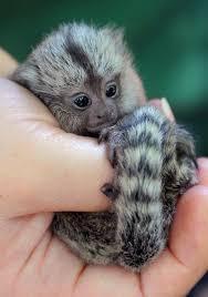FREE Quality marmoset monkeys:contact us at (941)-313-2816