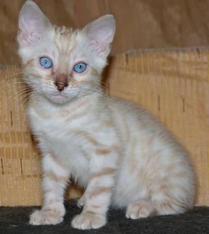 !!@# 3 Purebred and Pedigree, 12 weeks old Bengal kittens 334 801-0042!!@#