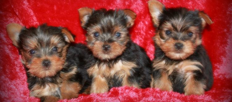 ***Gorgeous Y.O.R.K.I.E Puppies Need A New Home***(443)488-5238
