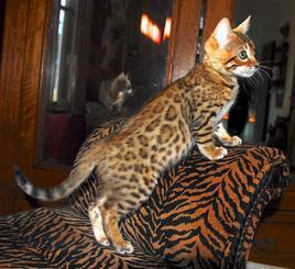 11 week old Savannah kitties looking for a forever home! (601) 501-7368