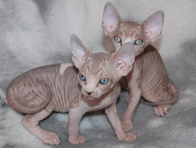 TICA Male and Females Sphynx Kittens Ready For New Homes.
