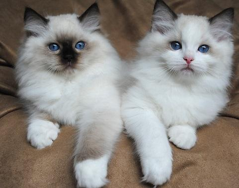 CFA  Registered male and female Ragdoll kittens