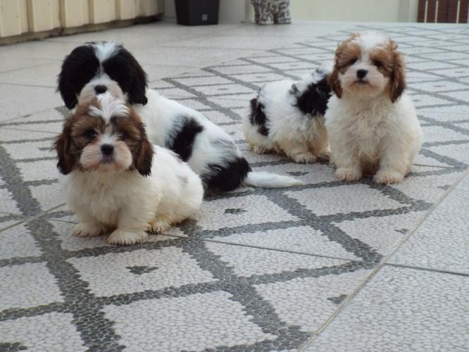 We have 6 beautiful little puppies available, 3 girls and 1 boys