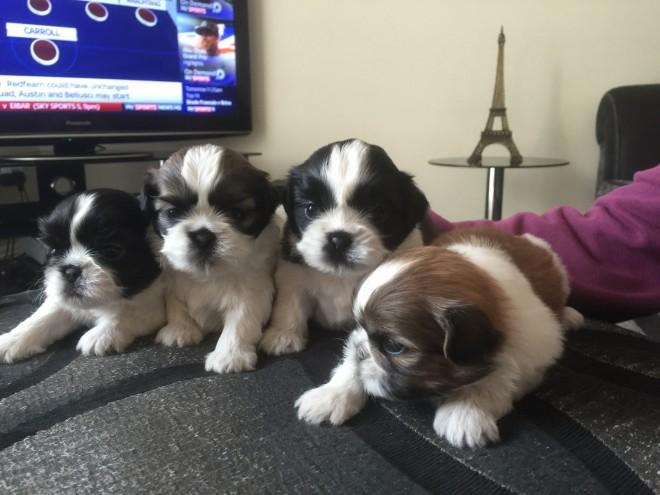 Shih Tzu puppies ready to leave now
