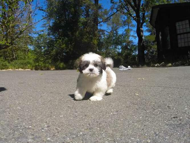 S.h.i.h T.z.u P.upp.i.e.s For F.r.e.e,Ready Now 3months Old # contct for more info**( (707) 840-8