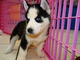 Quality siberians huskys Puppies:contact us at(651) 347-6712