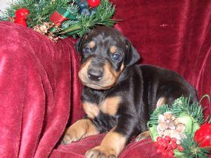 Must Take ***Dobermann  Puppies for rehoming***