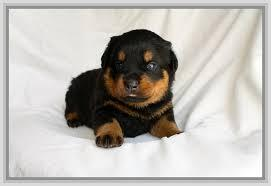 FREE Three Gorgeous R.o.t.t.w.e.i.l.e.r Puppies Available.(301) 463-7620