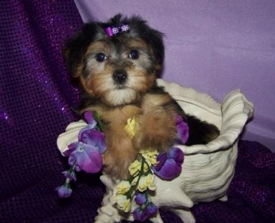 Teacup Y.o.r.k.i.e Puppies For Rehome Contact# (410) 709-8104...;'
