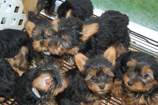 Both males and females puppies