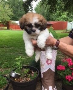 Yorkshire Terrier, Maltese, Pom, Shih Tzu, Bulldog puppies For Sale/ Adoption