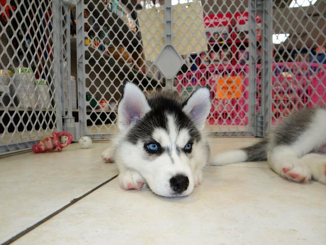 CUTIE S.I.B.E.R.I.A.N H.U.S.K.Y Puppies: contact us at (916) 287-3304
