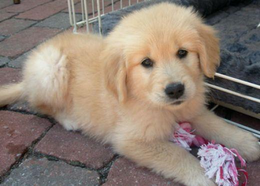 Quality Male and Female Goldens Retriever Pups Available(602) 800-6058.