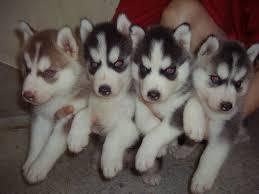 Sweet siberianss huskyss Pups to good homes