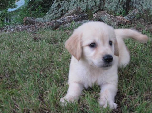 ?????? FREE??? Quality Male and Female Goldens Retriever Pups Available. ???(402) 370 6576
