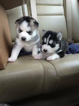 ???free Quality siberians huskys Puppies:???contact us a (707) 840-8141