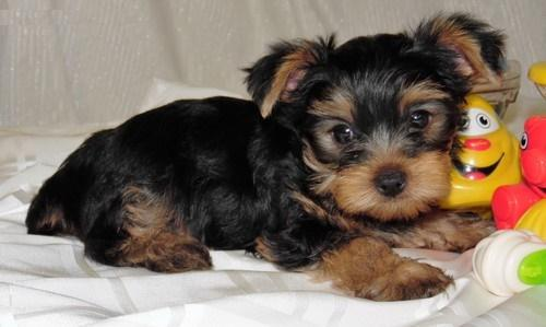 ???Awesome Charming Female and Male Y.o.r.k.i.e puppies???