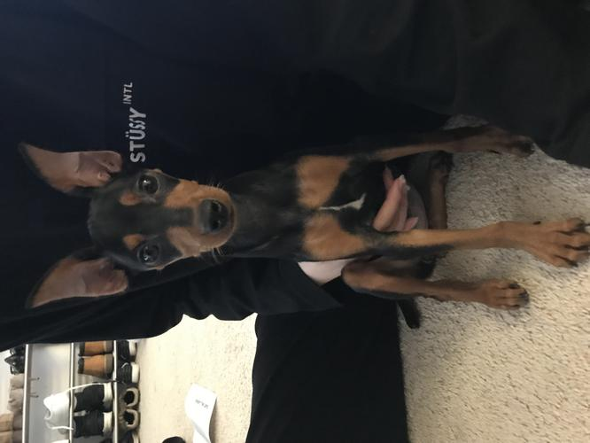 6 Months Miniature Pinscher for sale