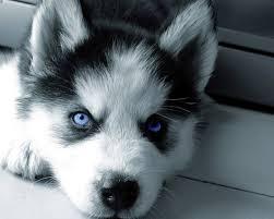 CUTIE S.I.B.E.R.I.A.N .H.U.S.K.Y Puppies for free(231) 570-4966
