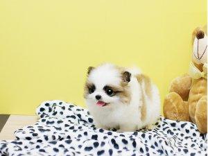 fonda crown *-- Pomeraniian Puppy for Sale