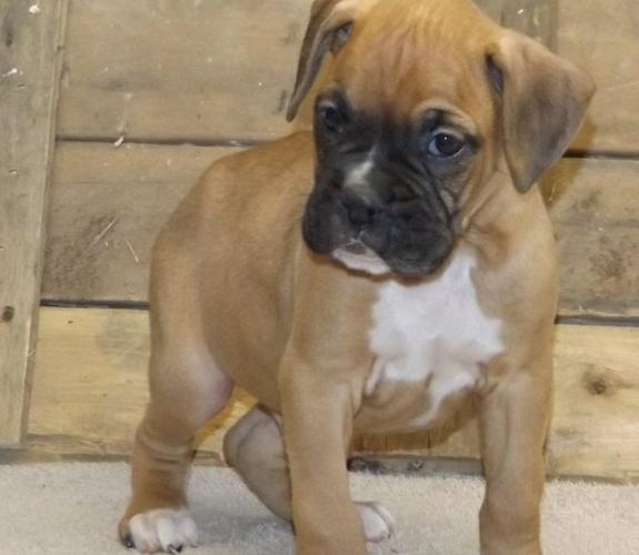 Nice Boxer puppies available  now
