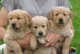 Top Quality Golde.n Retrieve.r Pups . (704) 326-0781