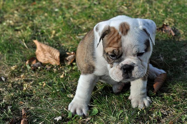 Quality and Healthy English Bulldog Puppies for Sale