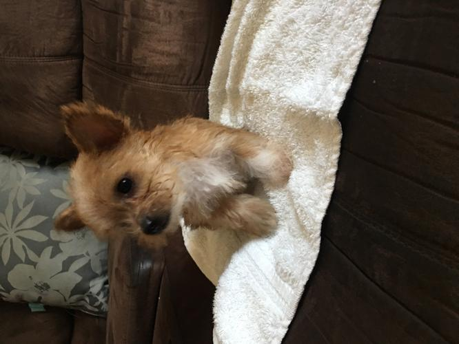 Toy Make Yorkie for Sale