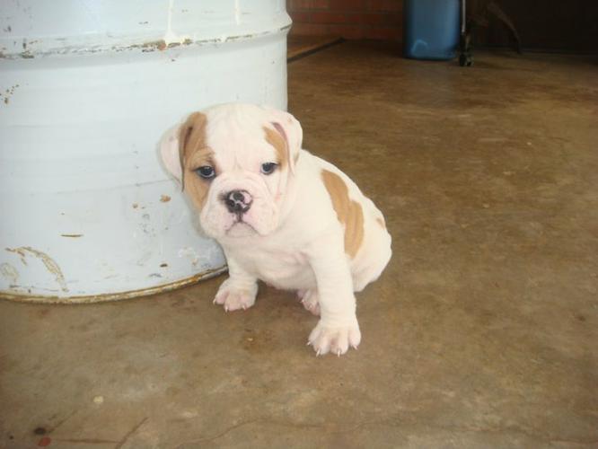 English B.u.l.l.d.o.g Puppies Available