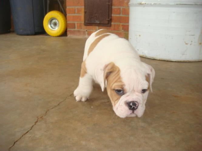 Cute male and female E.N.G.L.I.S.H B.U.L.L.D.O.G Puppies Available