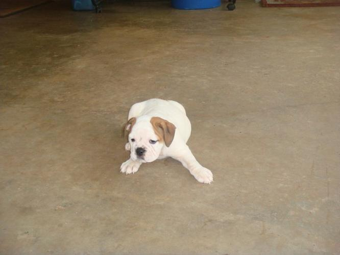 Wow!!!!Charming English B.u.l.l.d.o.g puppies available.