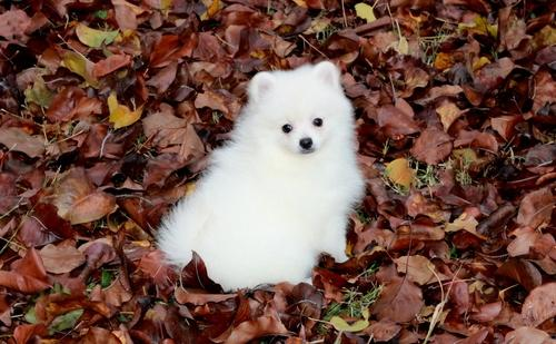 EXCELENT P. o .m. e. r. a. n. i. a. n  Puppie.s for free!!!(409)420-7820