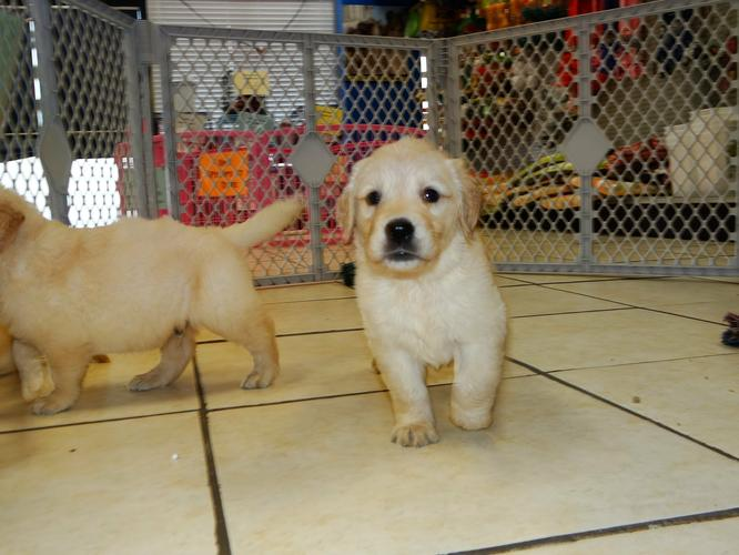 Top Quality Golde.n Retrieve.r Pups . (910) 888-0647