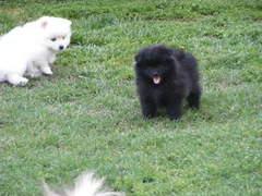 NICE P. o .m. e. r. a. n. i. a. n  Puppie.s for free!!!(409)420-7820