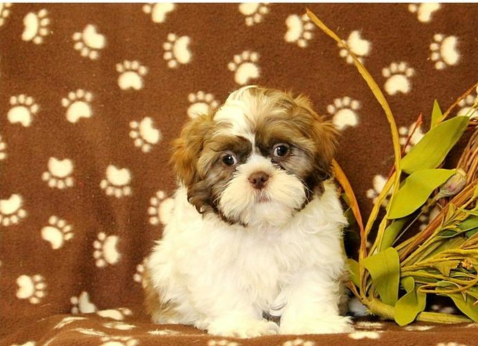 ** Shih Tzu Puppies;(575) 291-3554