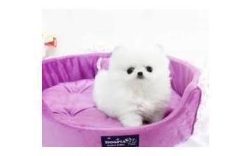 Cute P.o.m.e.r.a.n.i.a.n Puppies Available sms at
