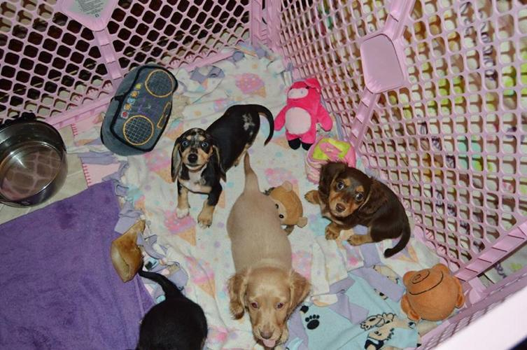 D.a.c.h.s.u.n.d P.upp.i.e.s For F.r.e.e, Ready Now 3 months Old # (458) 201-3992