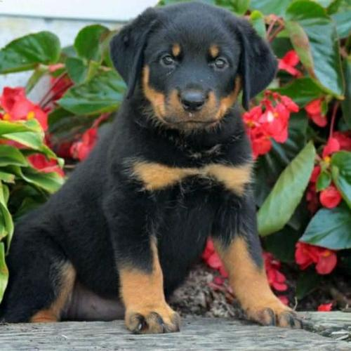 German Rottweiler puppies available now