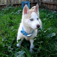 Blue Eyes male and female Siberi.a.n hus.k.y Pu.ppies ) Need Hom