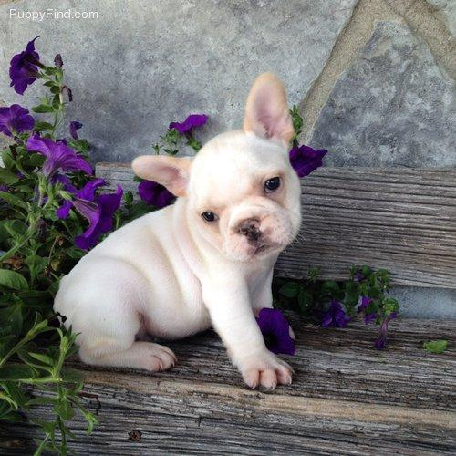 Lovely healthy certificate puppies!!!sms (412) 294-9855 ...