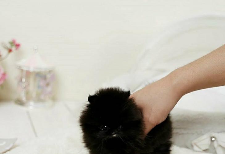 Sweet .Mini P.o.m.e.r.a.n.i.a.n puppies!!!sms (252) 678-5431