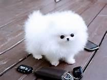 CUTIE P.O.M.E.R.A.N.I.A.N Puppies: contact us at 234-221-8948