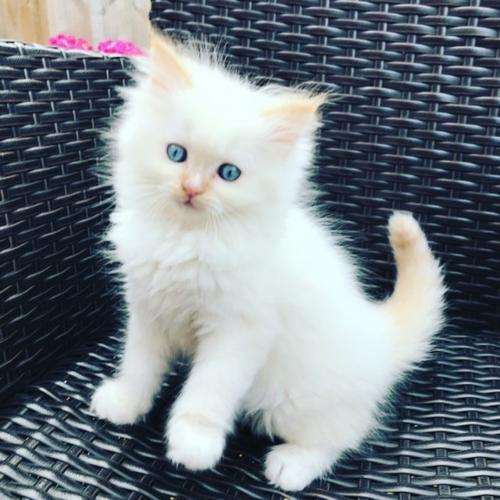 SugarTump Persians have a wonderful Himalayan Persian kitten