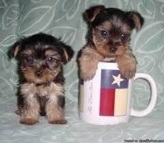 Pretty Female and Male Tea Cup Y.O.R.K.I.E puppies contact us 4.1.0. 4.24-6.7.8.4