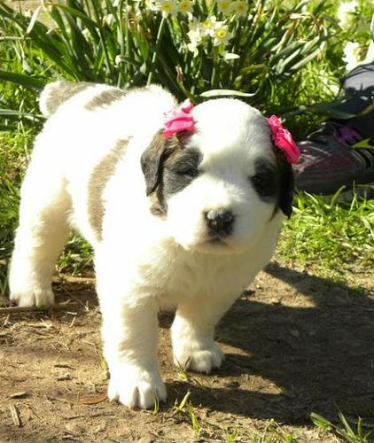 Saint Bernard puppies for sale Sms at 701 409-0063