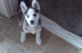 !!!!! Quality siberians huskys Puppies:!!!contact us at(517) 492-9866