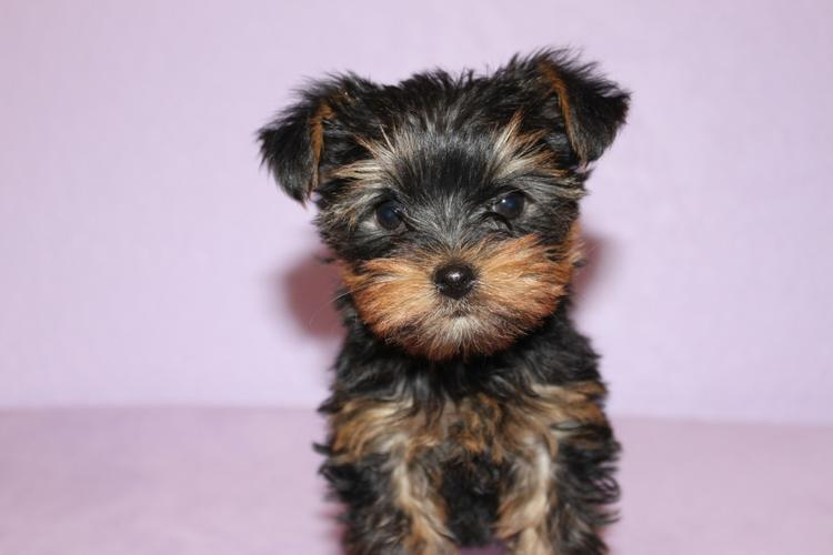 Home trained yorkie puppies for rehoming