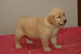 FREE Beautiful Go.l.den Re.triver Pu.pp.ies Available (240) 283-7562